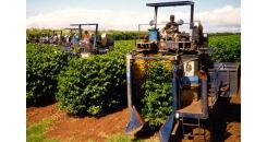 Как своевременность сбора кофейных ягод влияет на вкус