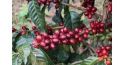 Кофе Пакамара из Сальвадора