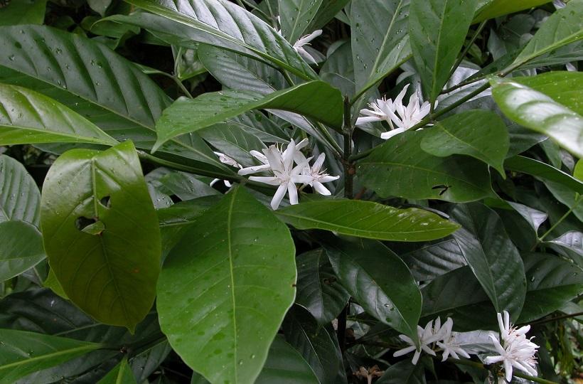 Либерика — самый редкий сорт кофе