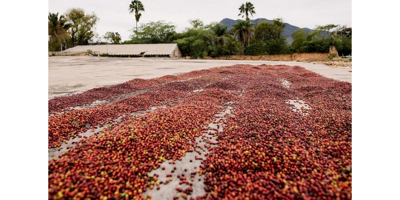 Кофе из Мексики: регионы, сорта, оттенки вкуса