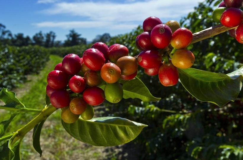 Кофейный путь Кении