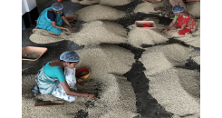 Кофе из Индии со вкусом ветра: Муссонный Малабар
