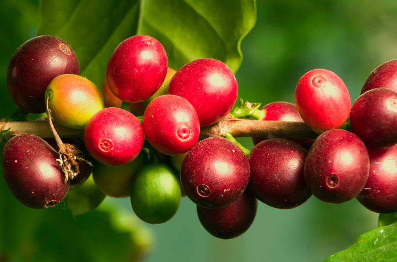 Путешествие вглубь кофейного зерна