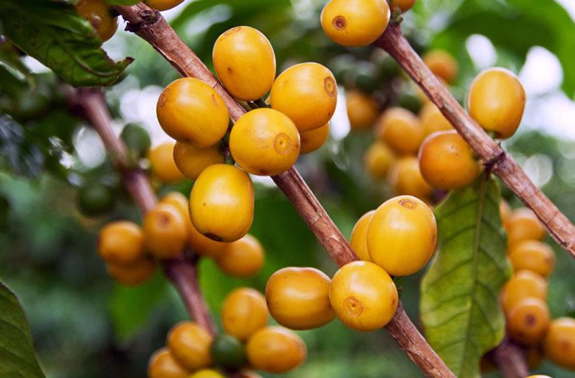 Желтый Бурбон — необычный сорт спешелти-кофе