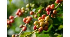 Кофейная индустрия Бразилии