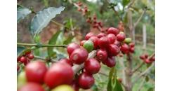 Пандемия COVID-19 диктует новые правила в кофейной индустрии