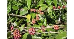 Вьетнам и его особенное место на рынке кофе