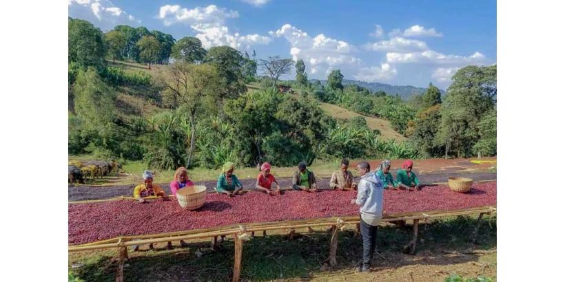 Кофе из Эфиопии. История, традиции, разнообразие сортов