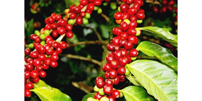 Все, что нужно знать о кофе Робуста.