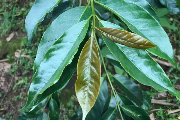 листья деревца кофе сорта типика