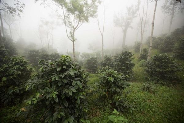 Кофейные деревья  на высоте 1700 м в горах Гватемалы, регион Антигуа.