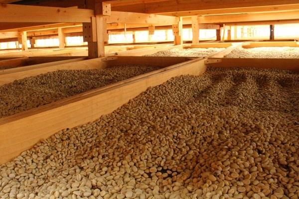 Кофейные зерна сохнут в закрытых проветриваемых сушилках. Станция обработки, регион Сан-Маркос (Гватемала).